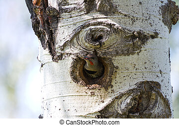 Northern Flicker and nest close up