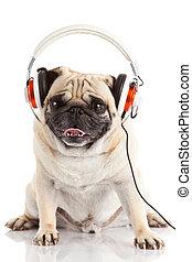 dog listening to music Pug Dog isolated on White Background...