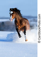 Horse gallops in winter - bay stallion gallops in winter...