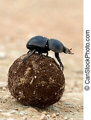Flighless Dung Beetle Rolling Dung Ball - Rare Flighless...