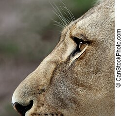 Lioness Eyes and Nose - Close up of a lioness face with...