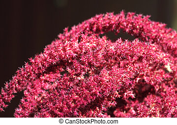 Inflorescence of Red amaranth Amaranthus cruentus