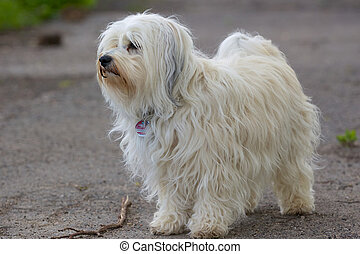 Long Hair Dog - A dog stands on a street and looks into the...