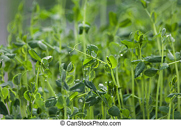 bean sprouts, vegetable, concept of Agriculture
