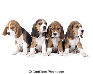 beagle puppies - Beagle puppies sitting in a row on a white...