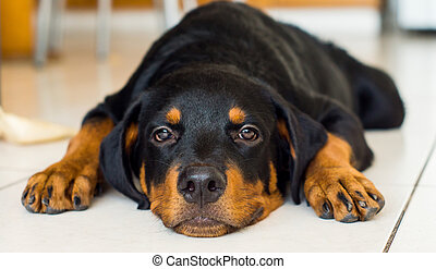 Rottweiler Puppy - A cute young rottweiler puppy tired out