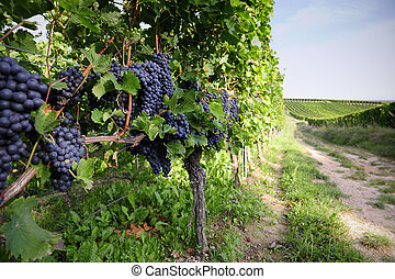 Pinot Noir Grapes in Rheinhessen, Germany; selective focus...