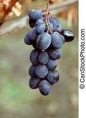 Ripe grapes Moldova. Close up. Whole background