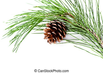 fir tree branch with pinecone isolated on white background
