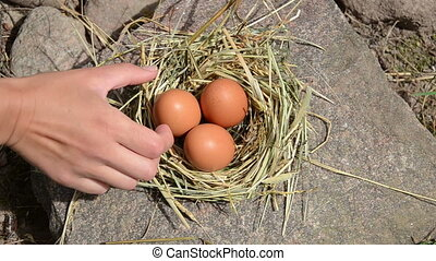 hand gather egg nest - Hand pick gather fresh eggs from...