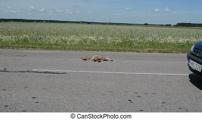 dead fox road car drive - Automobile killed dead fox animal...