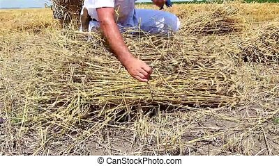 Farmer cutting wheat - Farmers reaping wheat in the...