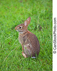 Cottontail - Young cottontail rabbit that is in the grass
