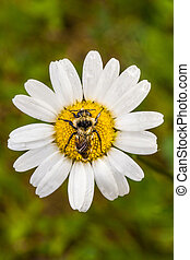 Closeup of a Bee Perfectly Centered on a Daisy Flower with...