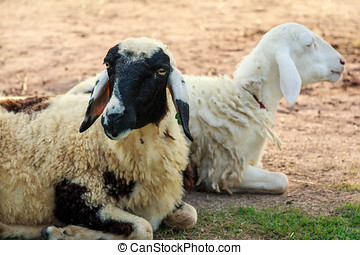 Sheeps lie down on the ground