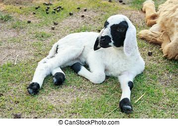 Lamb lie down - Little Lamb lie down on the grass