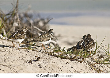 Bahamian Sandpipers - Sandpipers on the beach at Lucayan...