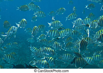Angel fish in the Bahamas - School of yellow and black angel...