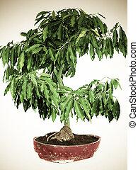 Polyalthia longifolia Sonn, Bonsai Tree, Empress garden,...
