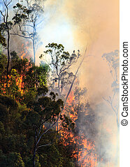 Bushfire in Australian bush - Forest fire blazing in the...