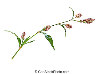 Water pepper Wildflower - Long-bristled Smartweed (Oriental...
