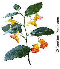 Impatiens capensis Wildflower - Touch me not - orange...