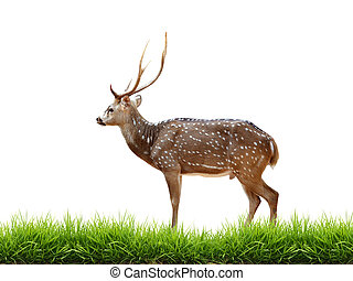 maie axis deer with green grass isolated