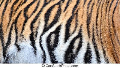 bengal tiger fur - textured of bengal tiger fur