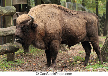 European bison Bison bonasus over grass field