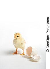 Chick and cracked egg