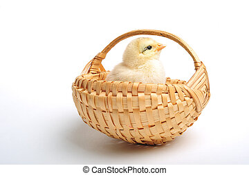 Chick in basket - Golden chick standing in a basket, close...