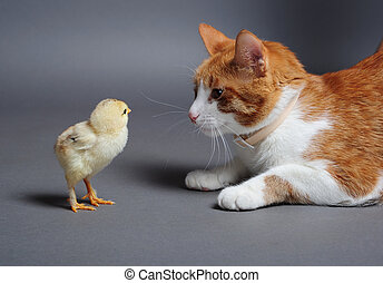 Chik and cat - Golden chick and a cat standing face to face