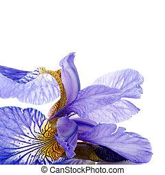 Petals of a flower of an blue iris.