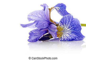 Flower of a blue iris - Iris flower Blue iris Petals of a...