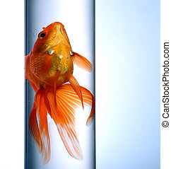 Goldfish swimming in a test tube on blue background