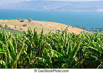 Banana Plantation on the Golan Heights