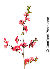 fruit-tree blossom - elegant japanese quince branch blossom...