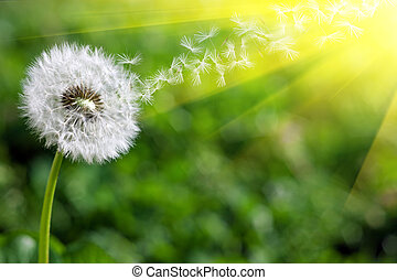 spring dandelion - dandelion seeds flying in warm sunlight
