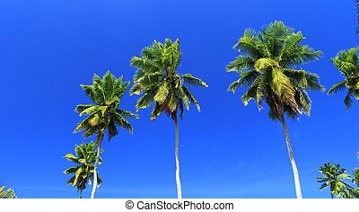 palm trees in a blue sky