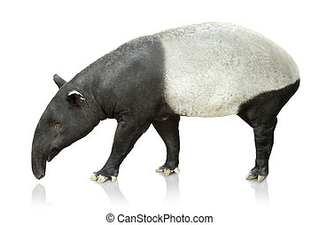 Portrait of tapir on white background - Full body portrait...