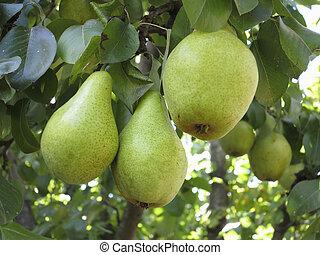 rico, cosecha, -, rama, jugoso, peras