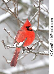 Cardinal In Snow - Male Northern Cardinal cardinalis...