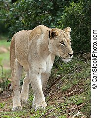 Magnificent Lioness - Beuatiful African lioness stalking...