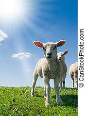 curioso, Corderos, primavera