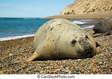 Elephant seal in Patagonia - Elephant seal in Peninsula...