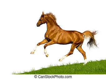Chestnut horse on white background