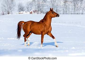 Arabian horse runs in winter - Arabian chestnut horse runs...
