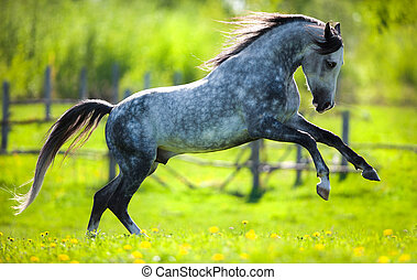 Horses runs on green background - Gray horse running in...