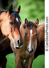 Mare and foal in pasture - Bay mare with foal in pasture
