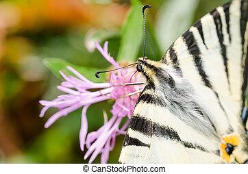Scarce Swallowtail Butterfly Macro Details